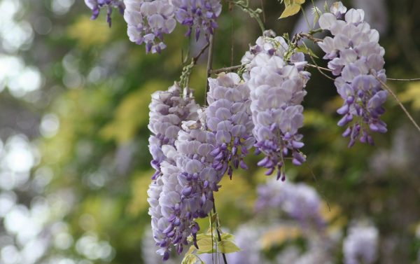 Wisteria Lawrence