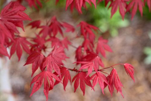 Japanese Maple Tree (Acer Palmatum)