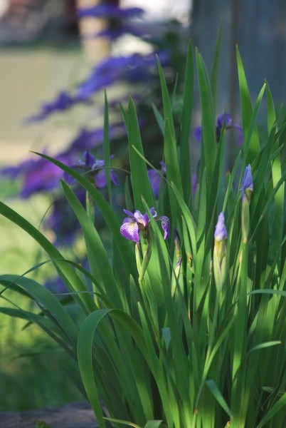 Munawar's Japanese Iris - Side View - Sept 2011