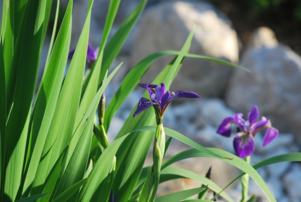 Munawar's Japanese Iris - Sept 2011 - Rock View