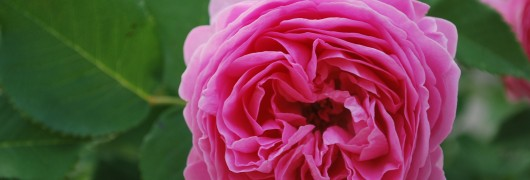 Munawars Louise Odier Rose Flower Closeup
