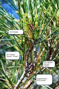 Dragon Eye Pine Tree Branch - 3 Year View