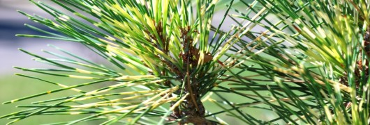 Dragon Eye Pine Tree Branch